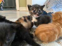 1 beautiful Calico kitten left