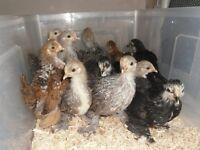 Pekin Bantam chicks of heat