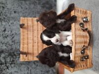 Cooker spaniel working puppies