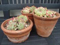 Mature Succulents in vintage Terracotta pots