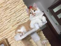 Main coon kitten 5 months old
