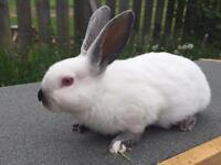 Californian rabbit doe