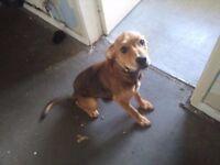 20week old Staff X Puppy Female