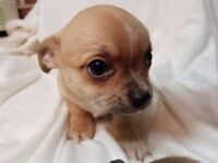 1 beautiful pure bred male Chihuahua pup for sale