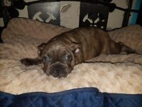 Stunning kc french bulldogs pups solid blue blue fawn and reverse blue brindle