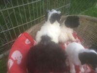 Jack Russel x Yorkshire terrier pups