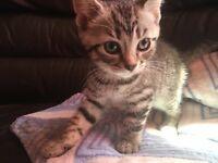Siamese x British shorthair female kitten