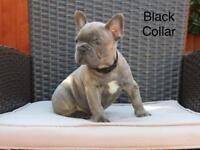 Reverse Blue and Blue Brindle french Bulldogs. Ready to leave today.