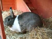 Beautiful Dutch female rabbit with hutch and accessories