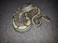 Royal python (spider morph) with set up