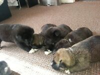 im selling japonease akita 5 puppies