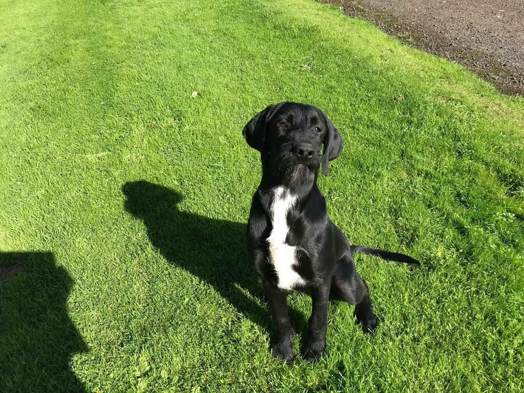 Wire Haired Pointer X Lab In Chathill Northumberland Gumtree