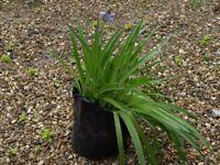 Pots of Garden Bluebells for sale
