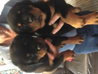 TWO ROTTWEILER PUPPIES LOOKING FOR THEIR FOREVER HOMES