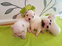 French Bulldog Puppies KC Reg/ 4 weeks old