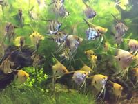Young Zebra Angel fish and Koi Angelfish for sale between £2 and £4