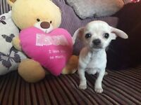 Chihuahua boy puppy KC reg pedigree ready now