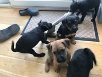 Patterdale Terrier Puppies For Sale
