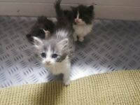 BIRMAN CROSS KITTENS, FLUFFY, BLUE EYED, MEDIUM LONG HAIR, READY FOR A NEW HOME!