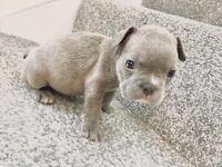 Don Choc bloodline french bulldog puppies