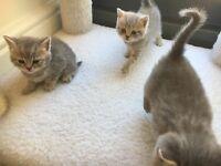 Pedigree Blue British Shorthair kittens