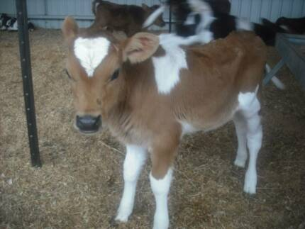 Jersey cross heifer calves week old for sale Ringarooma Dorset Area Preview