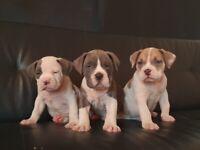 America XL BULLY Puppy's 🐶