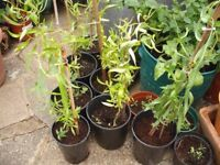 Young Curly Willow Trees (2ft Tall)