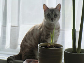 Bengal Snow/Silver Leopard Cat Male (Neutered) 20 months old.