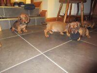 Red Mini Dachshund puppies