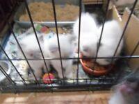 ragdoll kittens both sexes ready now