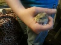 Adorable Russian dwarf hamster baby
