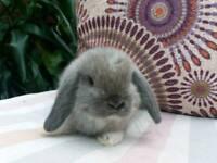 Gorgeous mini lop babies for sale