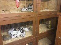 Black and Blue English Rabbits