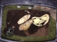 African land snail with tank for free in Thurston