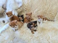 6 Beautiful Ginger and Calico Kittens Available
