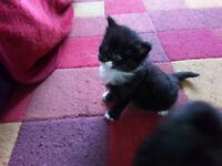 turkish angora x tuxedo kittens need loving homes