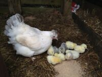 Bantam Hen with 10 chickens