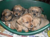 Shih Tzu x Dachshunds puppies for sale