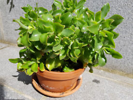 Jade Plant, Money plant, Crassula Ovata, succulent, easy, houseplant, office, gift