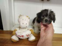 5 Beautiful Malshi pups for sale
