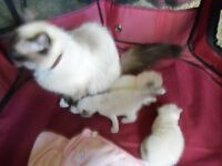 ragdoll kittens 2 boys 1girl ready on the 12th august