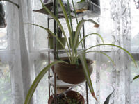 House plant-Spider plant in heavy hanging ceramic pot