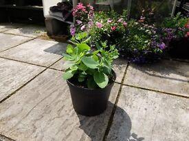 Sedum succulent plant