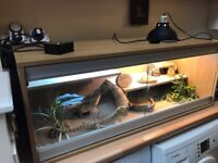 Bearded Dragon and Full Set up. Female, 4 years old with Viv, lighting, heating, bowls etc