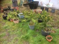 Monkey puzzle trees for sale
