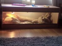 2 bearded dragons 3 years old with vivarium £100 or offers