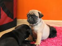 Pug Puppies For Sale Girls And Boys Fawn And Black Pure Breed Full Pedigree Ready Now