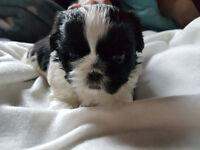 shih tzu puppy boy for sale