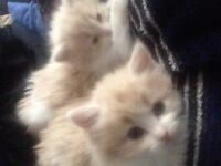 2 Long Haired Identical Blonde Kittens To Sell Each - 2 Females left